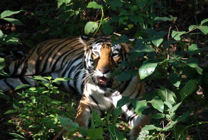India clásica y reservas naturales del Norte. En busca del tigre de Bengala